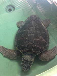 Helping Sea Turtles in Turkey